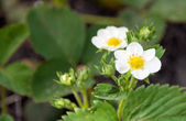 Strawberry blossoms — Stock Photo