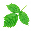 Stock Photo: Raspberry leaf