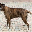 Old boxer dog — Stock Photo #29362601