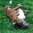 Old boxer dog lying in the grass — Stock Photo