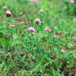 Stock Photo: Clover