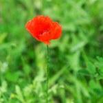 Poppy — Stock Photo #29365429