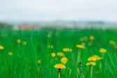 одуванчики трава фон — Стоковое фото