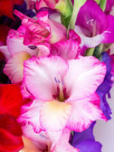 Multicolored flowers gladiolus — Stock Photo
