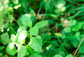 Grass, weed, lemon balm — Stock Photo