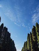 Trees alley sky — Stock Photo