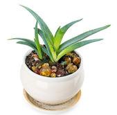 Aloe — Stock fotografie