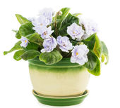 Violet flowers in pot — Stock Photo