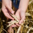 Stock Photo: Hands of a young girl and wheat