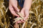 Hands of a young girl and wheat — Stock Photo
