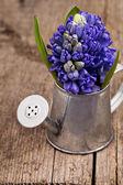 Giacinto blu in un annaffiatoio metallo su fondo in legno — Foto Stock