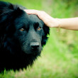 Hand caressing dog's head — Stock Photo