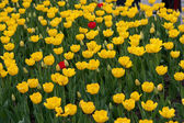 Yellow tulips — Foto de Stock