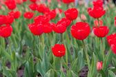 Tulipas vermelhas — Fotografia Stock