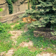 Lions in aviary — Stockfoto