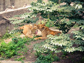 Lions in aviary — Stock Photo