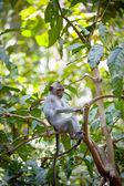 Monkey — Stock Photo