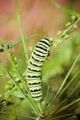 En svart swallowtail — Stockfoto