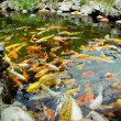 Colorful brocaded carps — Stock Photo #18834831