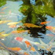 Colorful brocaded carps — Stock Photo