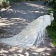 Stock Photo: White albino peacock with beautiful tail