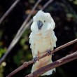 White bird parrot cockatoo sitting on branch — Stock Photo #19161457