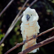 Stock Photo: White bird parrot cockatoo sitting on branch