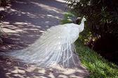 White albino peacock with beautiful tail — Stock Photo