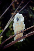 White bird parrot cockatoo sitting on branch — Stock Photo