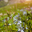 Flowers in mountains - Stock Photo