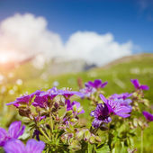 Flowers in mountains — Stock Photo