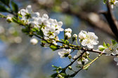 Flowers of apple tree — Stock Photo