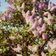 Branch of lilac flowers — Stock Photo #26298651