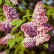 Branch of lilac flowers — Stock Photo #26298679