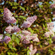Branch of lilac flowers — Stock Photo #26298699