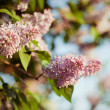 Branch of lilac flowers — Stock Photo #26298711