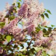 Branch of lilac flowers — Stock Photo #26298723