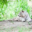 White Tiger Resting — Stockfoto
