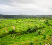 Rice Fields, Bali, Indonesia — Foto Stock