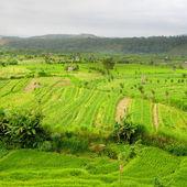 Rice Fields, Bali, Indonesia — Stock Photo