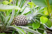 Green pineapple on tree — Stock Photo