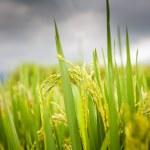 Rice Fields, Bali, Indonesia — 图库照片 #34487761