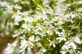 White flowers on the tree, Thailand — Stock Photo