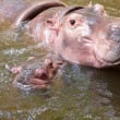 Baby hippo and the mother in a pool — Stock Photo