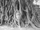 Tête de grès bouddha dans les racines de l'arbre à wat mahathat, ayut — Photo