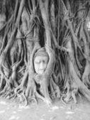 砂岩のヘッド ワット マハタート、ayut で木の根で仏 — ストック写真