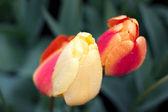 Tulipán bajo la lluvia — Foto de Stock