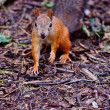Red squirrel — Stock Photo #12865415