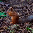 Red squirrel — Stock Photo #12869387