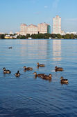 Ducks, Moscow river — Stock Photo